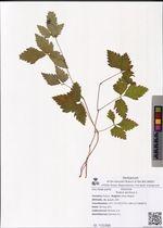 Rubus arcticus L.