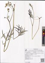 Angelica maximowiczii (F.Schmidt) Benth. ex Maxim.