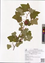 Ribes pauciflorum Turcz. ex Pojark.