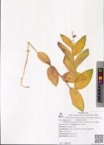 Smilacina dahurica Turcz. ex Fisch. & C.A. Mey.