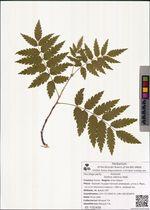 Sorbus sibirica Hedl.