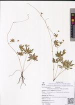 Potentilla flagellaris Willd. ex Schltdl.