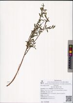 Spiraea alpina Pall.