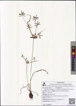 Pycreus nilagiricus (Hochst. ex Steud.) E.G. Camus