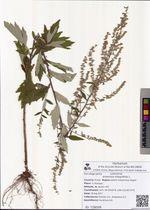 Artemisia integrifolia L.