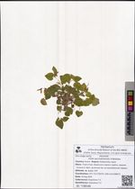 Viola sacchalinensis H.Boissieu
