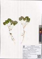 Viola selkirkii Pursh ex Goldie