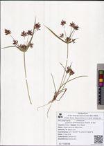Cyperus orthostachyus Franch. & Sav.