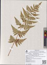 Dryopteris carthusiana (Vill.) H.P. Fuchs