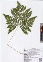 Leptorumohra amurensis Tzvelev