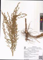Artemisia umbrosa (Besser) Turcz.
