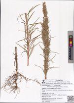 Artemisia selengensis Turcz. ex Bess.