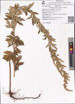 Artemisia argyi H.Lév. & Vaniot