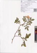 Rosa amblyotis C.A.Mey.