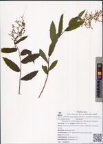 Pentactina schlothgaurae (Worosch.) Yakubov
