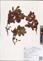 Arctous alpina (L.) Nied.