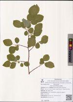 Salix pyrolifolia Ledeb.