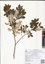Salix bebbiana Sarg.