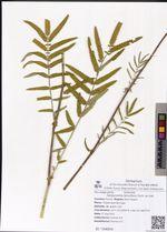 Sanguisorba tenuiflora Fisch. ex Link