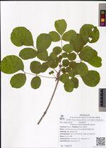 Fraxinus rhynchophylla Hance