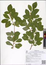 Exochorda serratifolia S. Moore