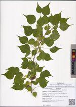 Armeniaca sibirica  (L.) Lam.