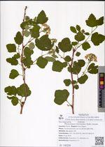 Physocarpus intermedius (Rydb.) Daniels