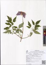 Atragene macropetala (Ledeb.) Ledeb.
