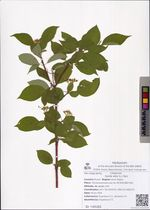 Swida alba (L.) Opiz
