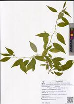 Prinsepia sinensis (Oliv.) Oliv. ex Bean