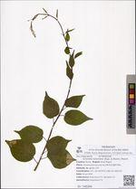 Actinidia kolomikta (Rupr. & Maxim.) Maxim.