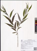 Salix pierotii  f. pendula Miq.