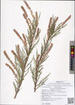 Myricaria longifolia Ehrenb.