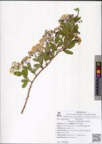 Spiraea myrtilloides Rehder