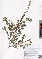 Spiraea aquilegifolia Pall.