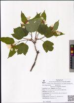 Viburnum sargentii Koehne