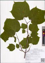Acer tegmentosum Maxim.