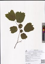 Corylus heterophylla Fisch. ex Trautv.