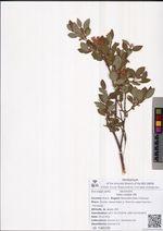 Salix coesia Vill.