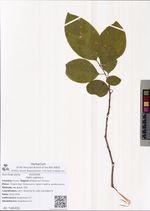 Salix caprea L.