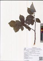 Salix cardiophylla Trautv. & C.A.Mey.