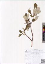 Salix krylovii E.L.Wolf