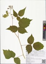 Rubus sachalinensis (H.L'v.) Lauener & D.K.Ferguson