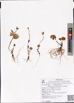 Ranunculus sulphureus C.J.Phipps
