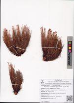 Rhodiola quadrifida (Pall.) Fisch. & C.A. Mey.