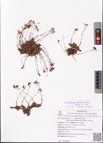 Saxifraga stelleriana Merk, ex Ser.