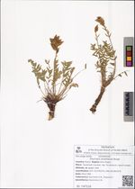 Oxytropis strobilacea Bunge