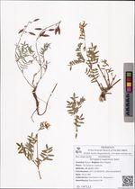 Astragalus tugarinovii Basil.