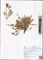Oxytropis leucantha (Pall.) Bunge