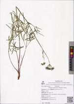 Tilingia ajanensis Regel & Tiling